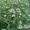 Семена озимого гороха сорт «НС Мороз» - зерновой ультраранний = 6, 2т/г #1623401