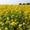 Озимий ріпак від Рапсоил,  Україна – гібрид Редстоун #1661389