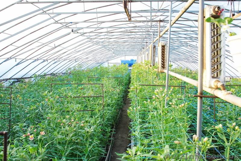 Выращивание в теплице лилии 75
