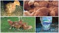 подрощенные цыплята ред бро,  фокси чик,  испанка