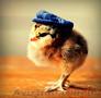 суточные цыплята= зерно
