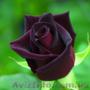 Саженцы розы Блек Баккара