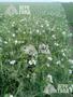 Семена озимого гороха сорт «НС Мороз» - зерновой ультраранний = 6, 2т/г